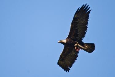 golden_eagle_flying